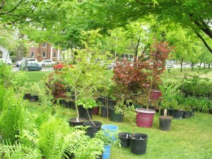 au PS shrubs for sale 2015 DSCN1056
